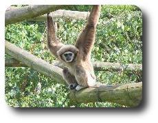 Progetto di riabilitazione dei Gibboni a Phuket