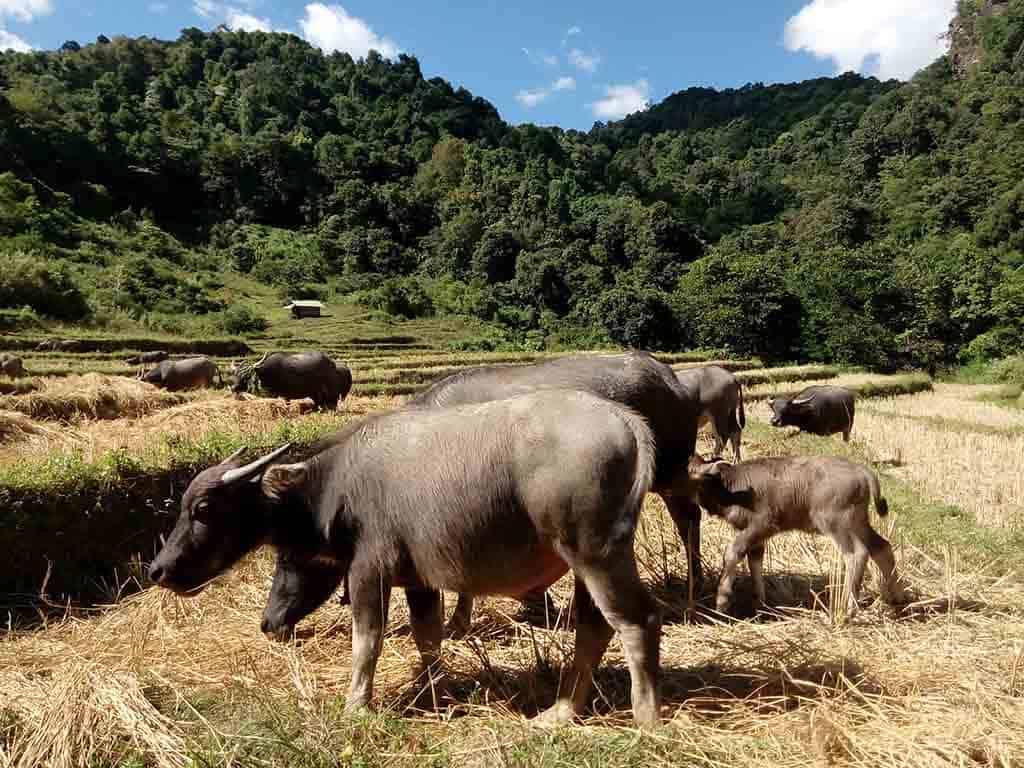 Chiang Mai, Doi Inthanon - Buffalo Group