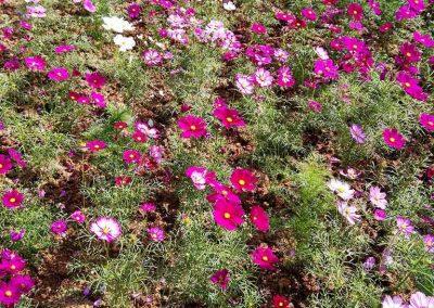 chiang mai, queen sirikit botanic garden - pink and white flowers
