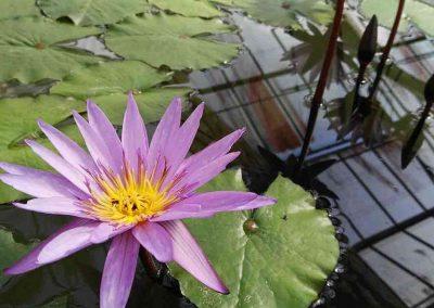 chiang mai, queen sirikit botanic garden - pink water flowers