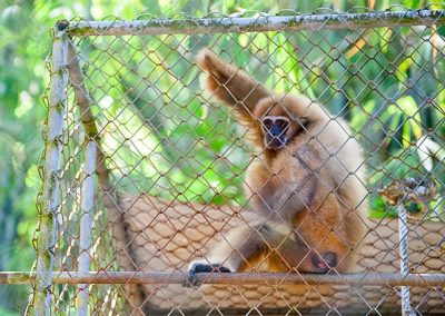 Gibbon Rehabilitation Project